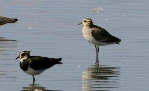 Ritka tengerparti madarat láttak a Hortobágyon