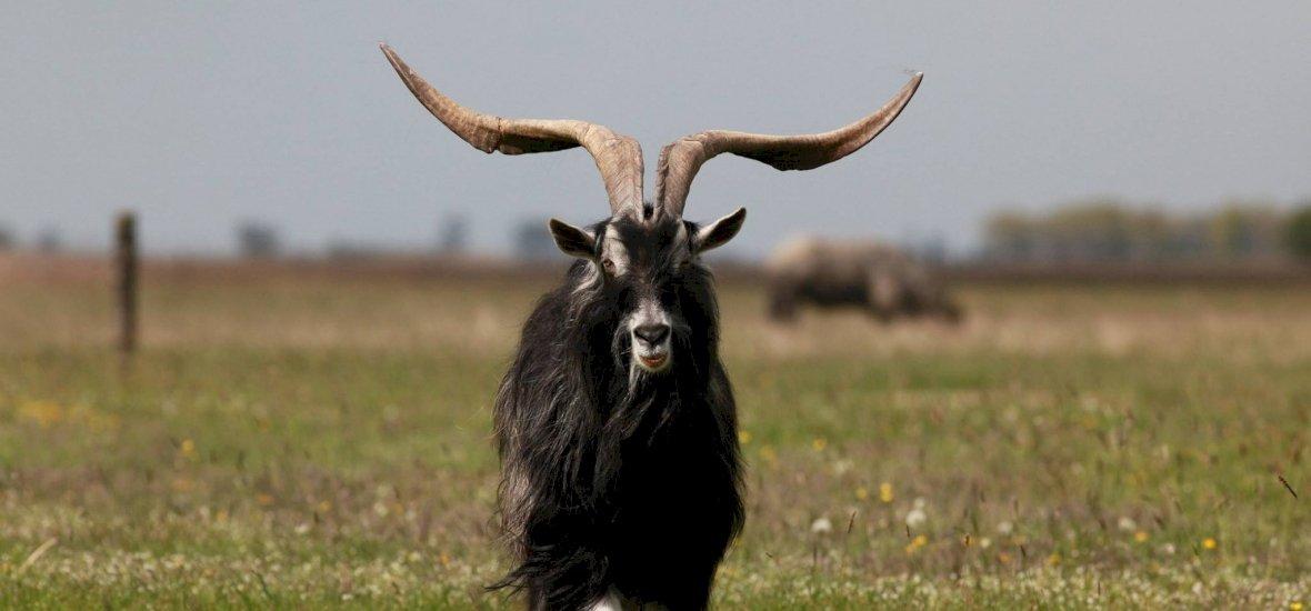 A kihalás szélén a magyar őshonos kecskefaj, alig néhány maradt belőle – videó