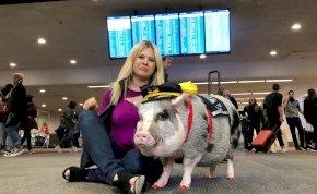 Terápiás malac fogadja az utasokat a reptéren – videó