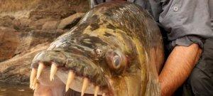 A világ egyik legnagyobb édesvízi hala még az embereket is felfalja – videó