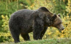 Súlyosan megsérült az a férfi, akit saját udvarán támadott meg egy medve