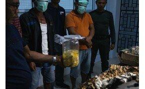 Orvvadászat: találtak egy szumátrai tigrisbundát, és négy tigrismagzatot – galéria
