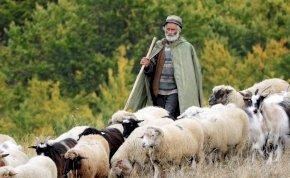 Egy román pásztor az autópályán terelte nyáját – videó