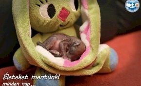 Elpusztult a kockásfülű nyúllal alvó mókusbébi, akit a Mályi Madármentők gondoztak