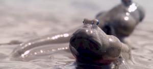 Döbbenetes látvány: a hal, amely két lábbal sétál a szárazföldön – videó