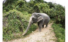 Szabadon engedik az eddig turistákat cipelő elefántokat Thaiföldön