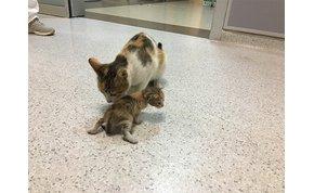 A macskaanya szájában cipelte kórházba beteg kölykét