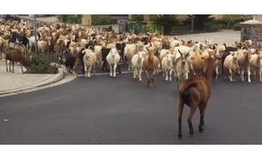 Kétszáz kecske átvette egy város irányítását, minden megbénult – videó