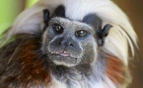 Szinte hihetetlen, de Liszt Ferenc-fejű majmok szaladgálnak a dzsungelben