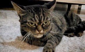 Az új Grumpy Cat jóval dühösebb, mint elődje