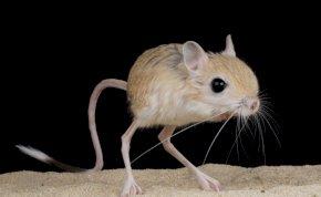 Óriáslábú egerek jelentek meg? Ráadásul simán a nyakunkba ugranak? Szó sincs róla