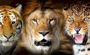 Így néz ki egy oroszlán és egy tigris nászából született utód