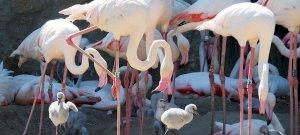 Három hét alatt 19 flamingófióka született a Budapest Állatkertben