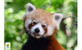 Bemutatjuk Bendegúzt, a fővárosi állatkert új kis pandáját!