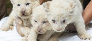 Fehér oroszlánykölykök születtek Nyíregyházán – fotók