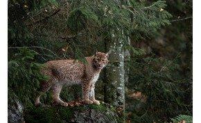 Európa legnagyobb ragadozó macskaféléje, a hiúz megjelenhet a magyar erdőkben – mutatjuk, hogy hol
