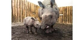 Szegedre költözött Csülök, a nyíregyházi állatkert kis orrszarvúja