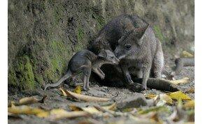 Megtalálták a Miskolci Állatkert kenguruit, de az egyik elpusztult