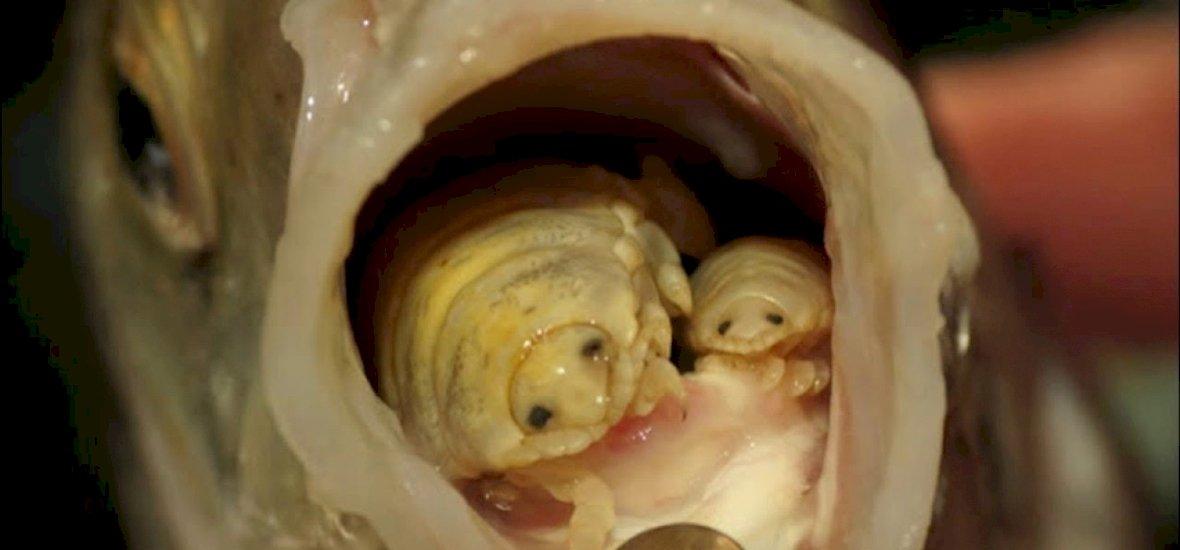 a nyelvet helyettesítő parazita akinek férgei fogynak