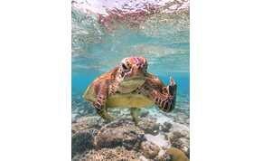 Egy morcos tengeri teknős fotója az idei Comedy Wildlife Photography Awards győztese
