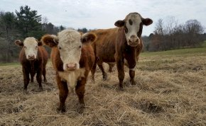 Egy férfi szarvasmarhákat akart terelni, cserébe bringásokat kapott el