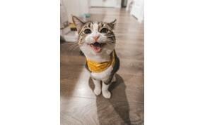 Miért nyávognak a macskák?