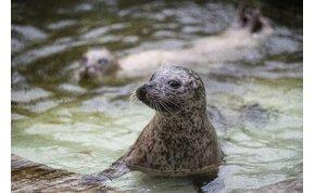Borjúfókákat adományozott a Nyíregyházi Állatpark