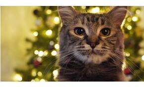Kiderült, miért gondolják azt a macskák, hogy a karácsony csakis róluk szól - Napi okosító