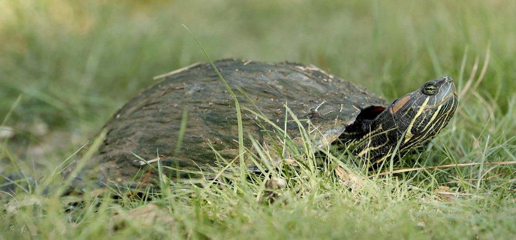 Az extrém hideg miatt megdermedtek a tengeri teknősök az USA-ban