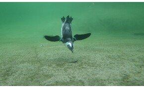 Ötletes módon menekült meg a pingvin az őt üldöző gyilkos bálnák elől