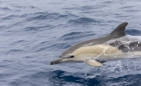 Delfinek úszkálnak Velencénél