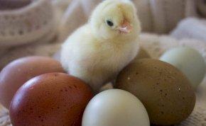 Hihetetlen! Ezek a tyúkok színes tojásokat tojnak!