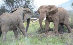 Elefántcsontparton teljesen kihalhatnak az elefántok