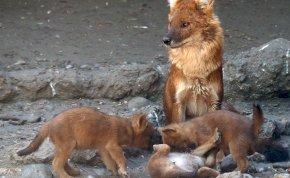 Mindenki A dzsungel könyvéből ismeri őket, és most tíz is született a fővárosi állatkertben