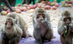 Napi cuki: Pelenkában, az ujját szopogatja Rézi, a kis majom - videó