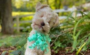 """Genetikailag selejtes állatot hozott létre a világ legkisebb kutyája helyett – """"kukába"""" dobta"""