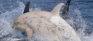 Sokkoló felvételek készültek egy kardszárnyú delfinről! Mi történt vele?