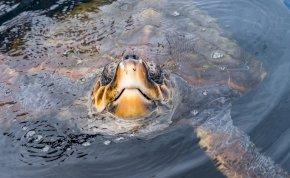 Ritka, kétfejű tengeri teknősre bukkantak Dél-Karolinában