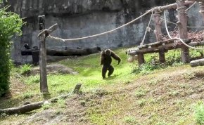 Bezuhant egy gyerek a gorillák közé az állatkertben, ami utána jött, azt elképzelni sem tudod - videó