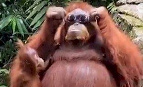 Szétröhögöd magad ezen a mókás majmon, aki kipróbálta a napszemüveget - videó