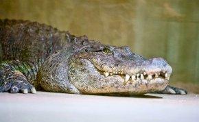 Elkapta az állatkertben az etetőnő kezét a vérszomjas aligátor, egy látogató próbált segíteni, ami utána következik, az döbbenetes!