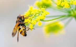 A dühös méh aranyat ér!