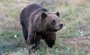Újra barna medvét láttak ebben a magyar városban - veszélyben vannak a lakosok