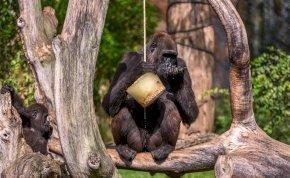 Viszonya volt a csimpánzzal, ezért kitiltották az állatkertből