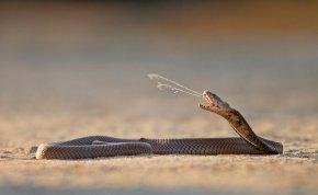 Tragikus baleset! Levágott fejű kobra marta meg a séfet
