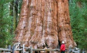Veszélyben van a világ legnagyobb fája! Mindenáron meg akarják óvni a pusztulástól