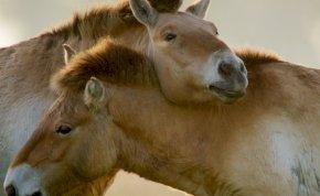 Világszerte a hortobágyi vadlovakról beszélnek
