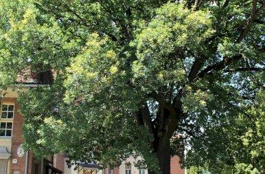 Az év fája 2019