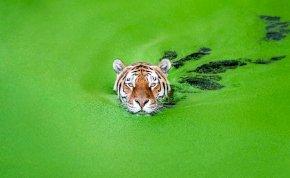 """Mit keres ez a tigris a """"spenóttengerben""""? A válasz meglepő! – képek"""