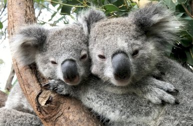 Kihalhatnak a koalák? Nagyon visszaesett a tündéri növényevők száma – fotók